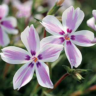 Candy Stripe Creeping Phlox Image