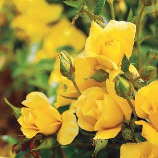 Yellow Simplicity® Hedge Rose