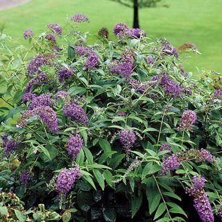 Buddleia Lo & Behold® Purple Haze Image