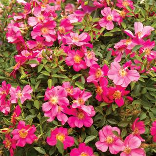 'Party Dress' Groundcover Rose
