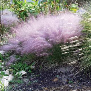 Muhlenbergia Pink Muhly Grass Image