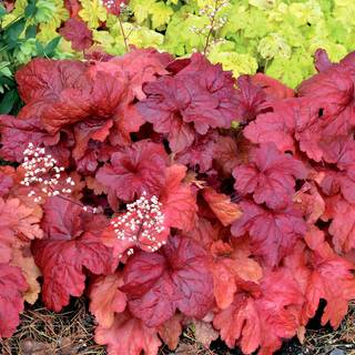 Heuchera 'Fire Chief' Image
