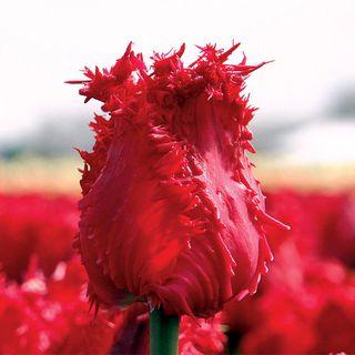 Tulip Barbados Image