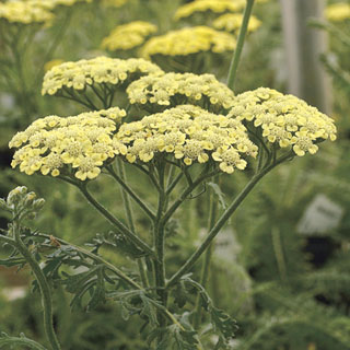 Moon Dust™ Yarrow Image