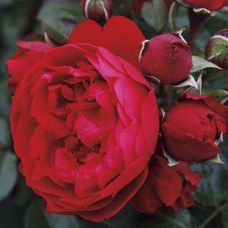 Florentina Arborose® Climbing Rose Image