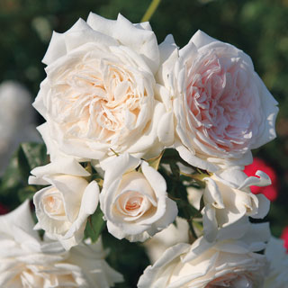 Honeymoon™ Arborose® Climbing Rose Image