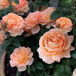 Vogue Anniversary Rose