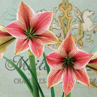 Holiday Celebration Amaryllis