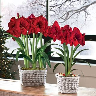 Amaryllis Bulb Gifts: The most popular holiday gift plant!