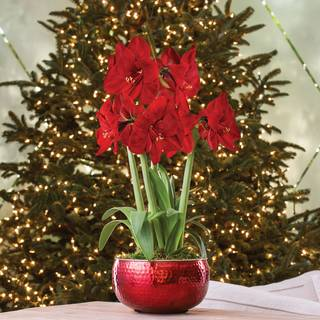 Ruby Red Amaryllis