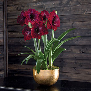 Golden Glow Grand Diva Amaryllis