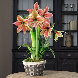 Winter Has Come Amaryllis Basket