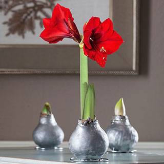 Silver Waxed Amaryllis Bulb