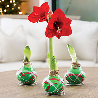 Gloss Green Pattern Waxed Amaryllis