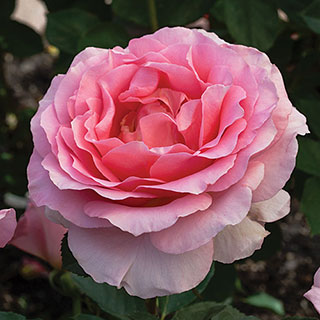 'Dr. Jane Goodall' Hybrid Tea Rose