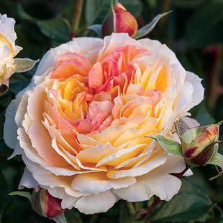 'La Park' Floribunda Rose