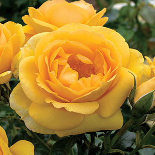 'Soaring to Glory' Floribunda Rose