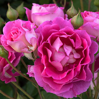 'Mauvelous' Shrub Rose Image