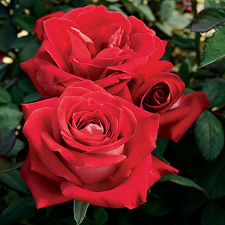 Grateful Heart® Hybrid Tea Rose Image