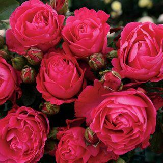 Fiji™ Eleganza® Hybrid Tea Rose