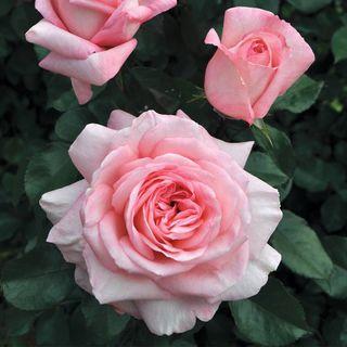 Savannah Sunbelt® Hybrid Tea Rose Image