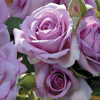 Enchanted Evening Floribunda Rose Image