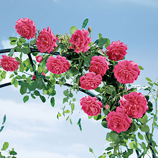 High Society Climbing Rose Image