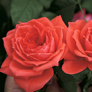 Jolie™ Veranda® Floribunda Rose Image