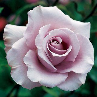 'Lagerfeld' Grandiflora Rose