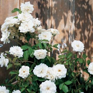 Lace Cascade Climbing Rose Image