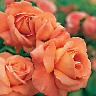 Outrageous Floribunda Rose Image