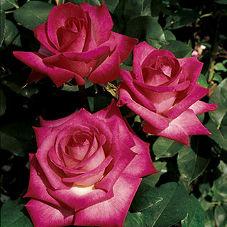 Signature Hybrid Tea Rose Image