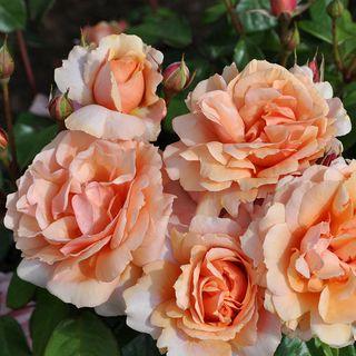 Soul Sister™ Sunbelt® Shrub Rose Image