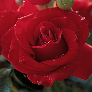 Veterans' Honor® Hybrid Tea Rose
