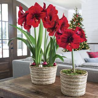 Radiant Red Amaryllis