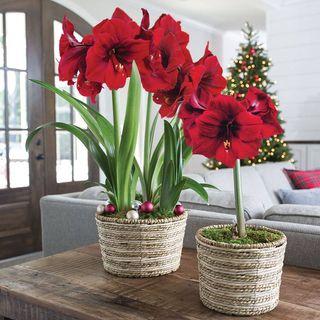 Radiant Red Amaryllis