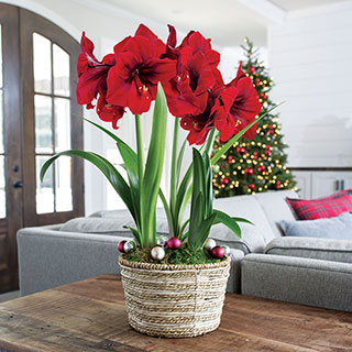 Warm Wishes Amaryllis
