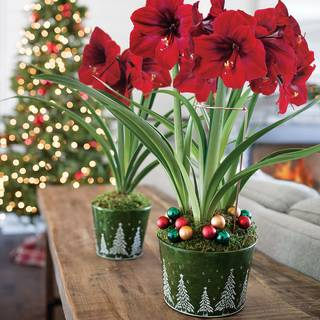 Snow Covered Hills Amaryllis