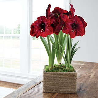 Farmhouse Amaryllis