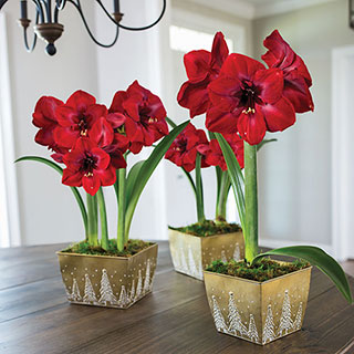 Christmas Cheer Amaryllis