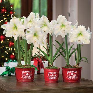 Country Christmas Amaryllis