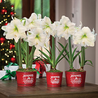 Country Christmas Amaryllis