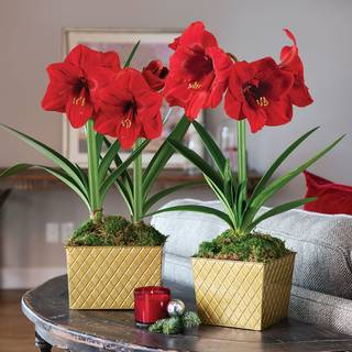 Golden Greetings Amaryllis