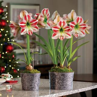 Whimsical Wonders Amaryllis