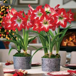 Christmas Cocktail Amaryllis