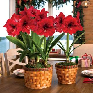 Basket of Joy Amaryllis