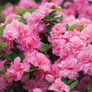 Azalea Bloom-a-Thon® Double Pink