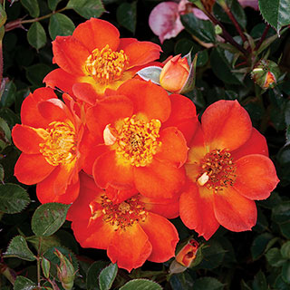 Honey Bee Lovely Groundcover Rose
