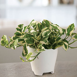 Pothos N'Joy Houseplant