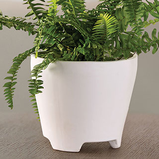 Boston Fern Houseplant Image
